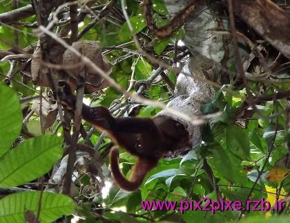 اولین عکس از خورده شدن میمون توسط مار