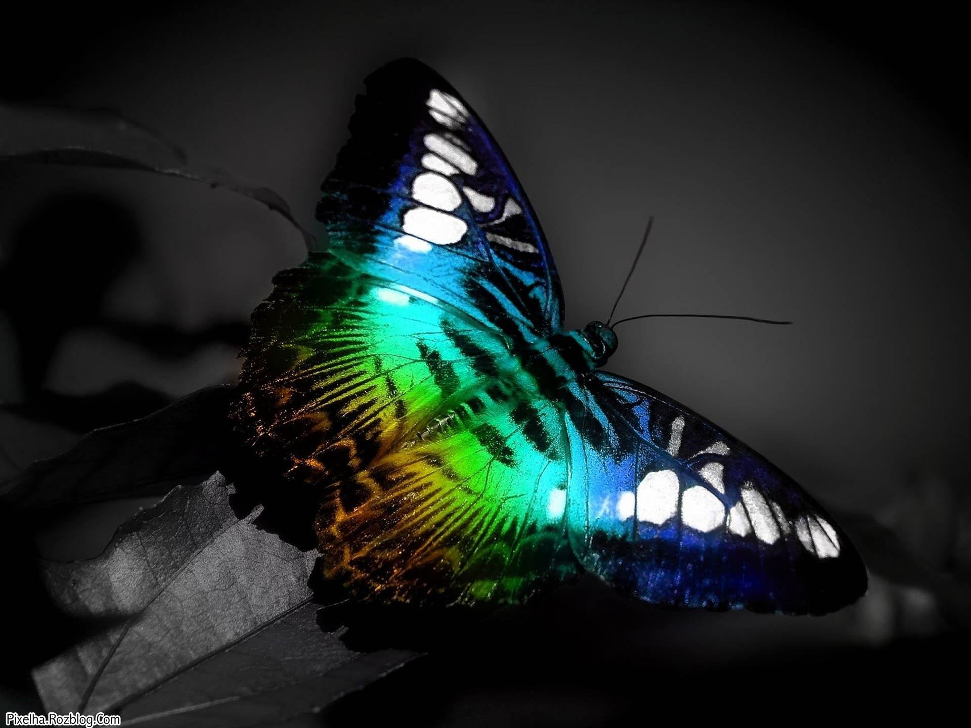 پروانه رنگارنگ