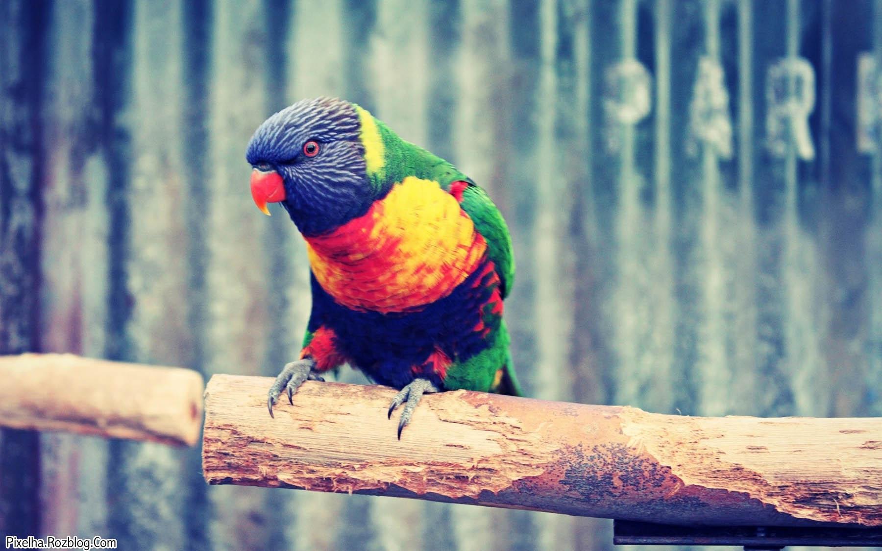 طوطی رنگارنگ