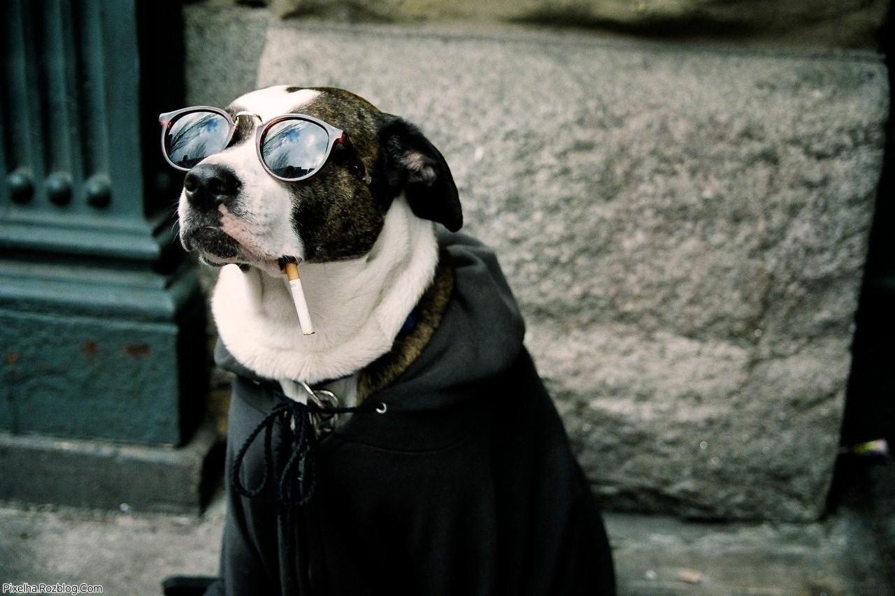 سگ سیگاری همراه با عینک آفتابی