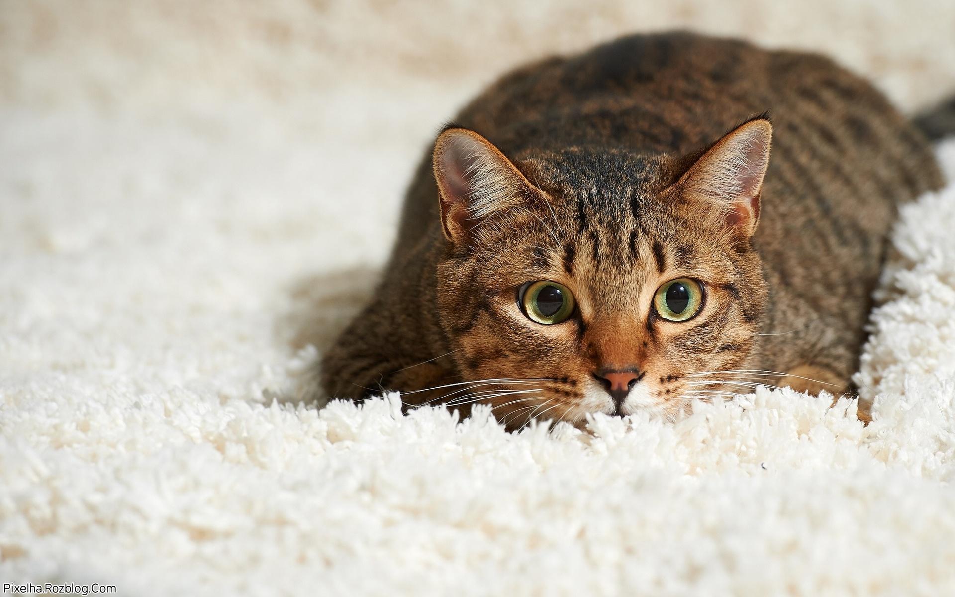 گربه متعجب