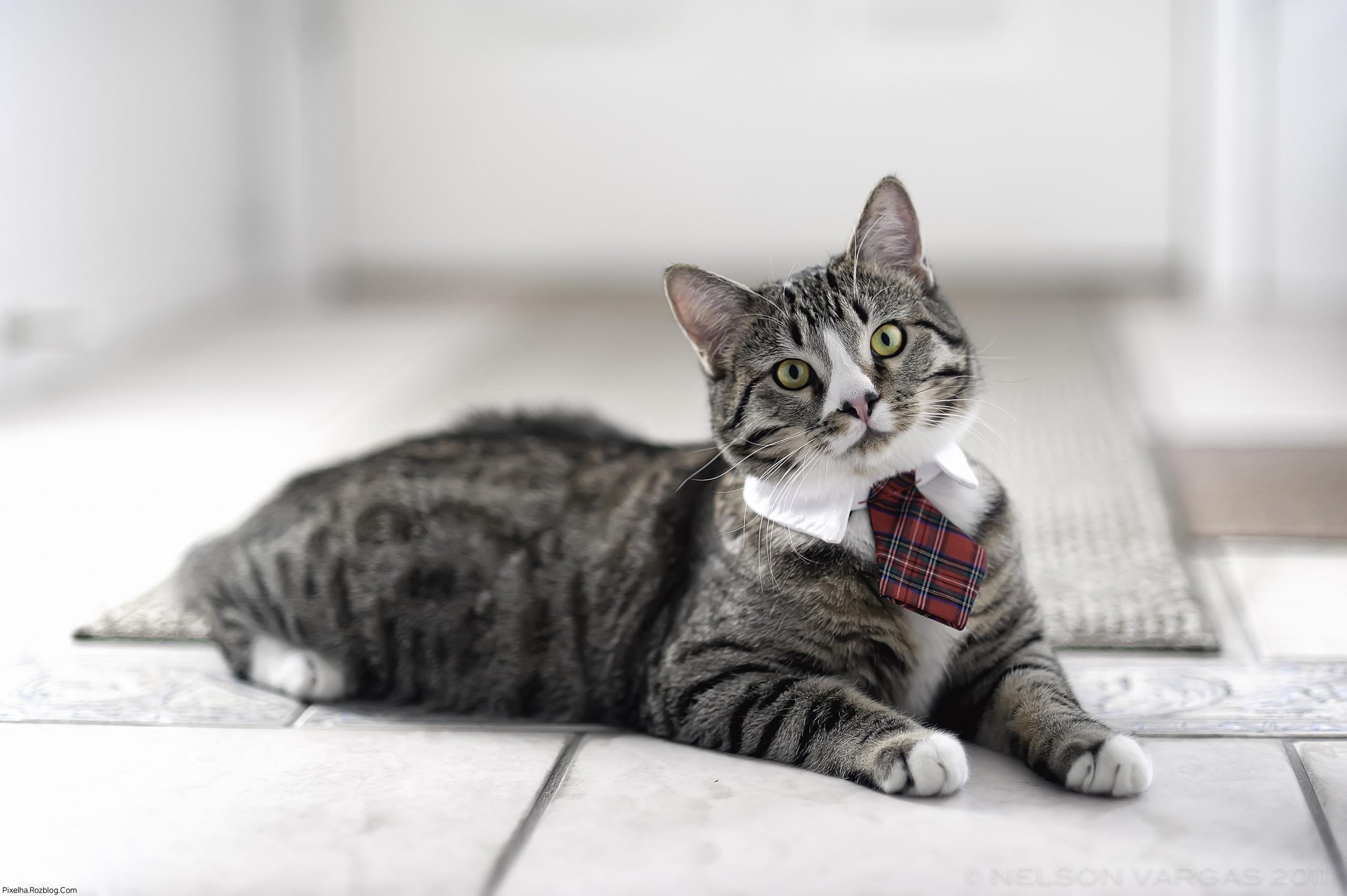 گربه با کراوات
