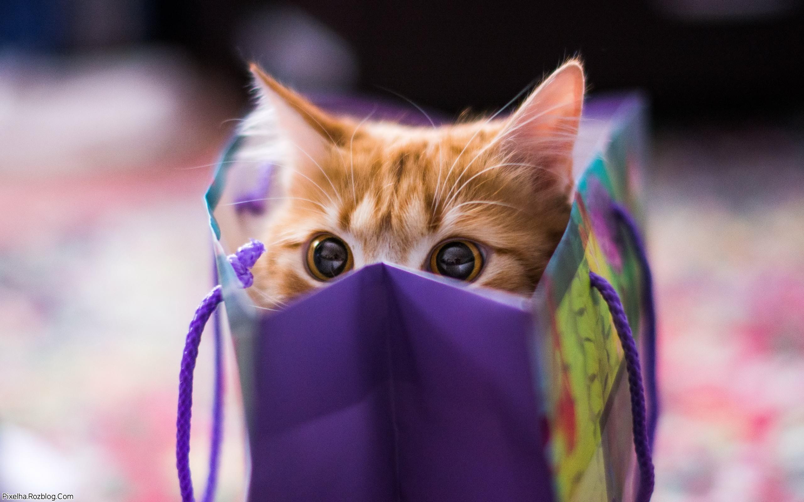 بچه گربه کادو شده