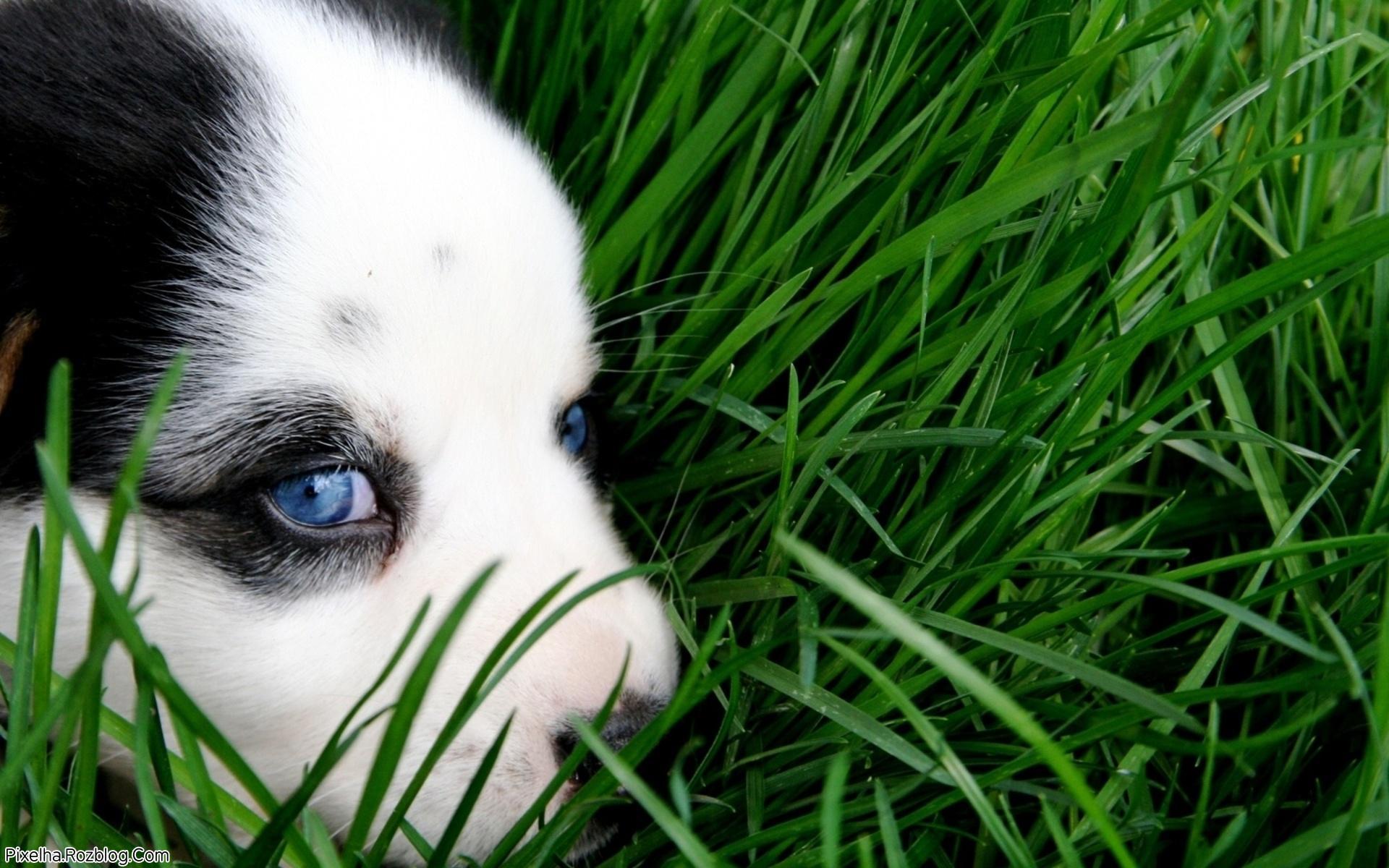 سگ با چشمان آبی