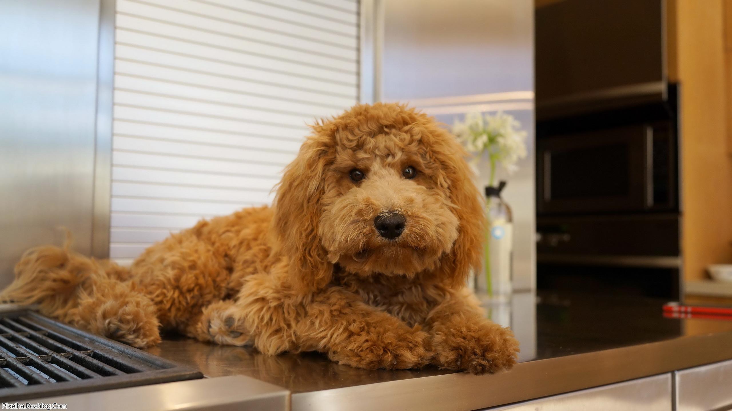 سگ پشمالو در آشپزخانه