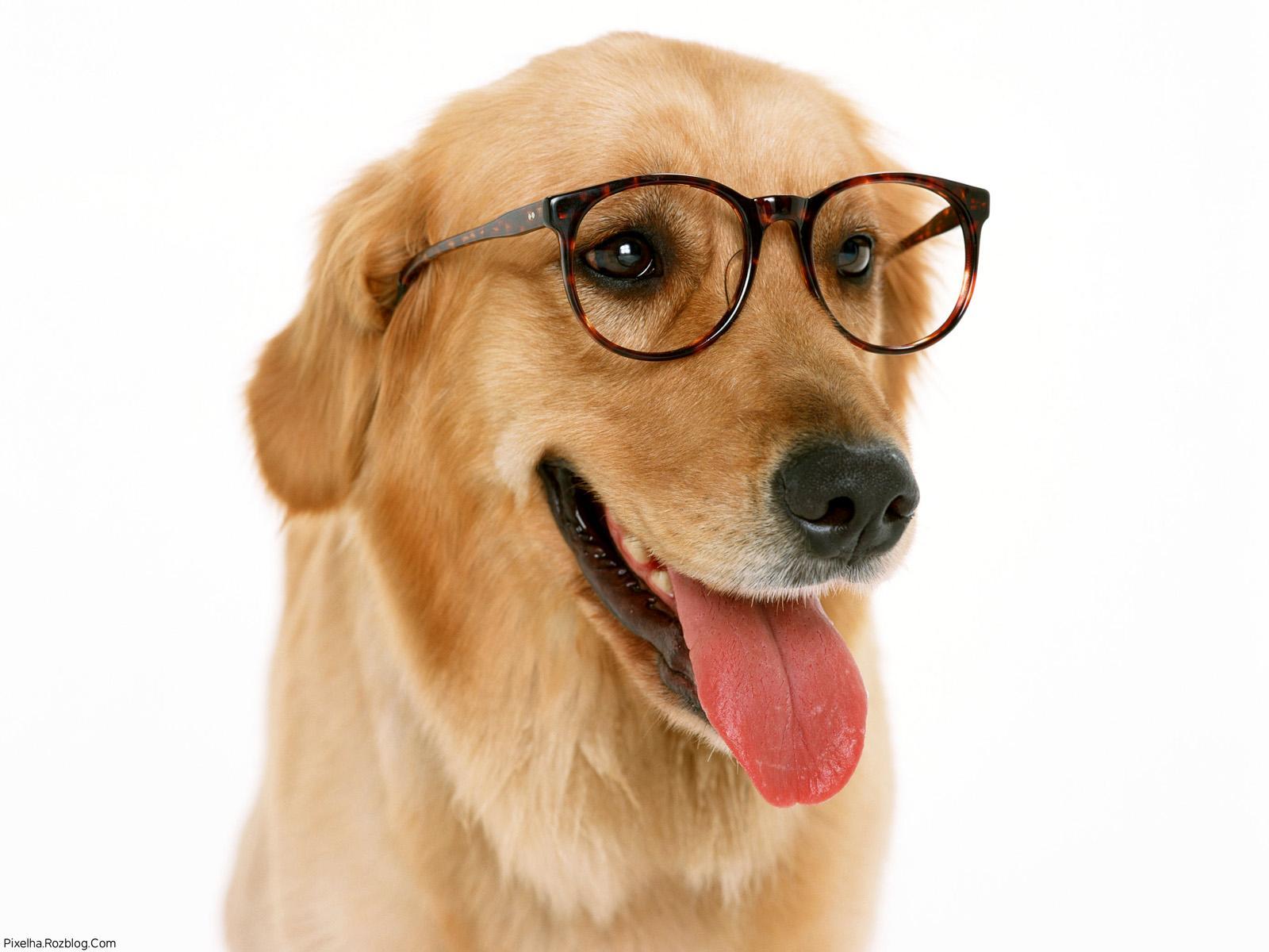 سگ عینکی