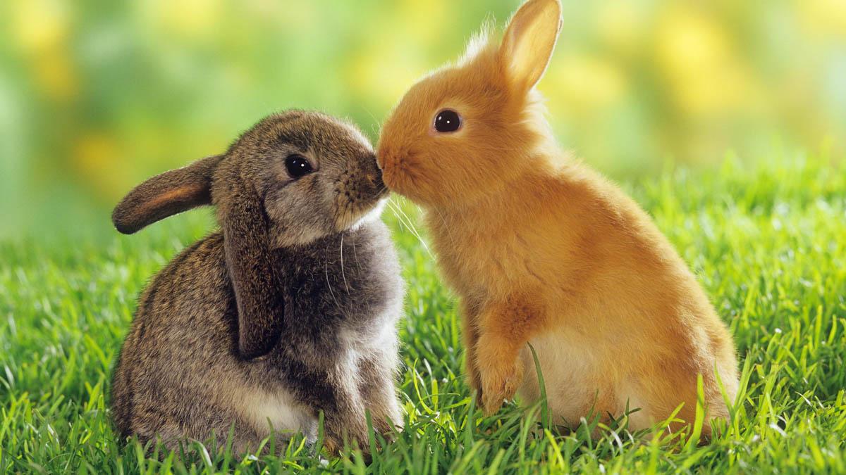 بوسه خرگوش ها