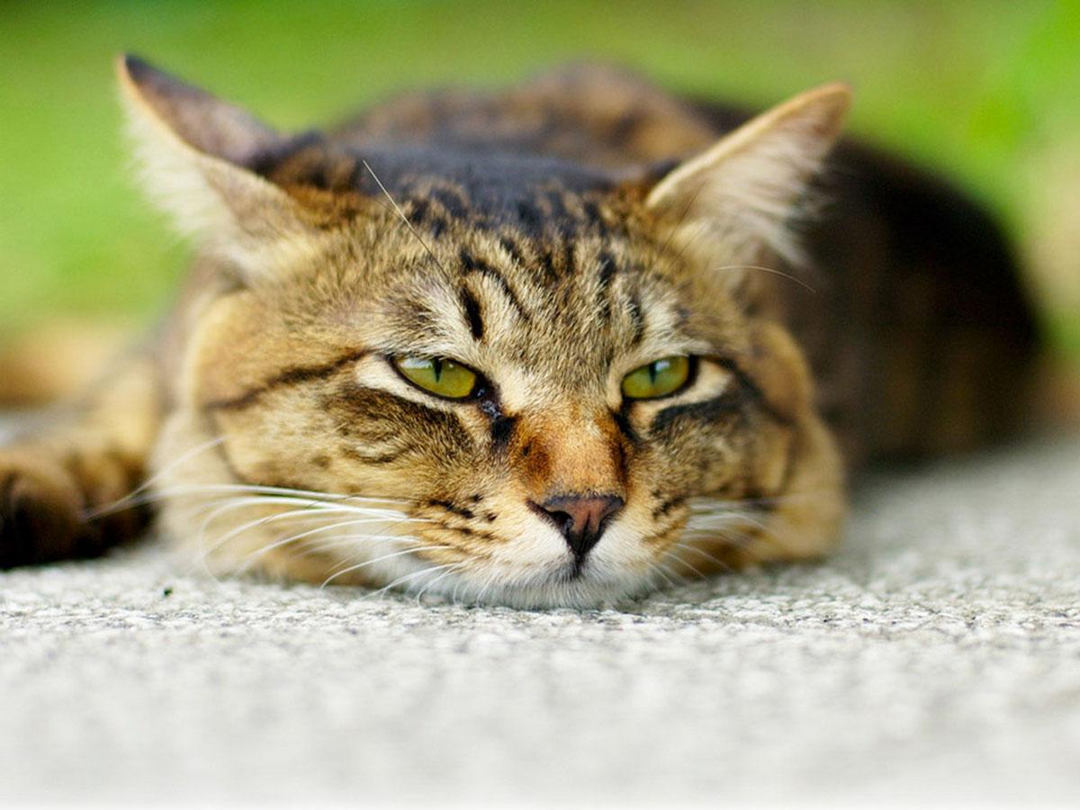 گربه خسته