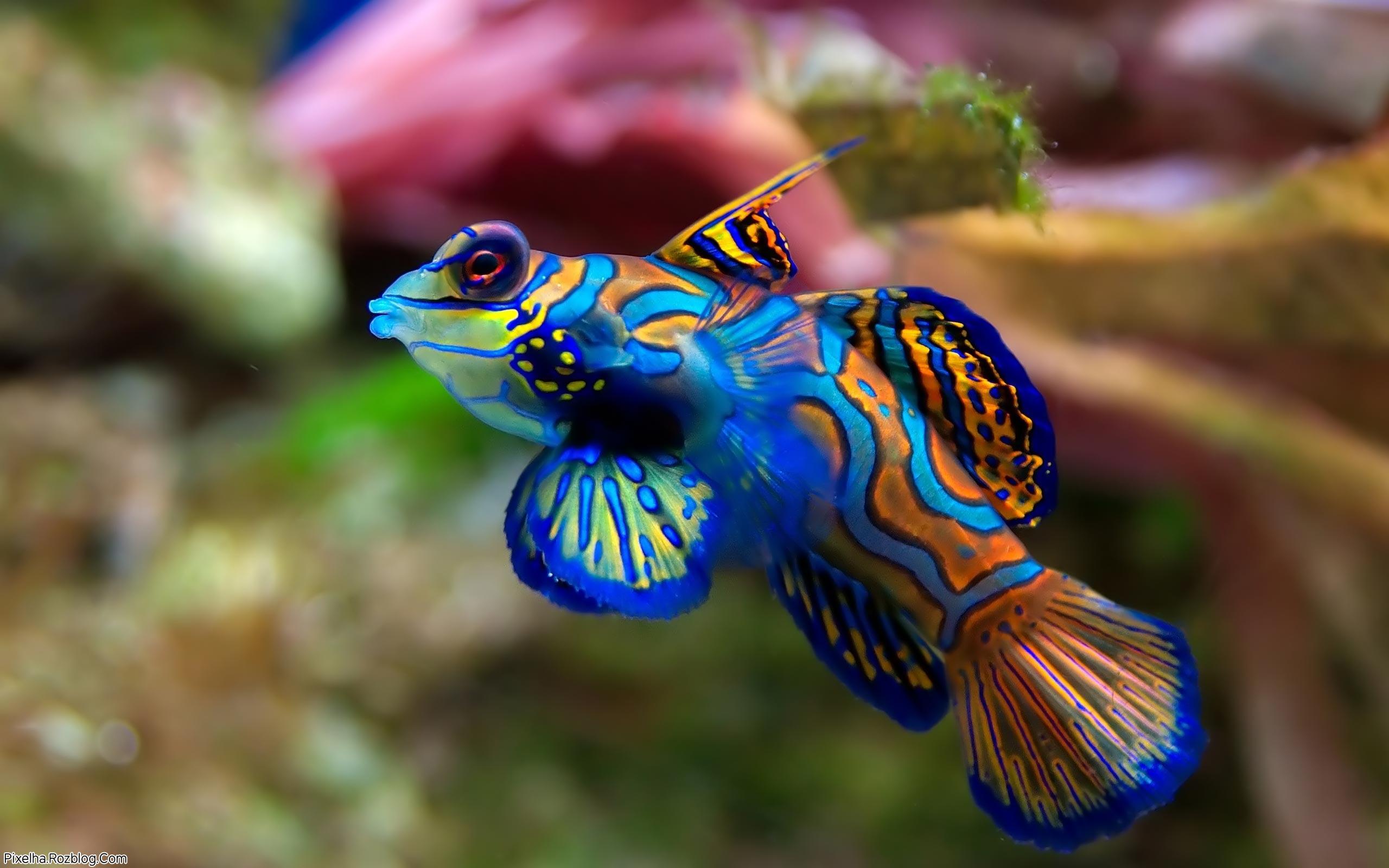 ماهی ماندارین آبی