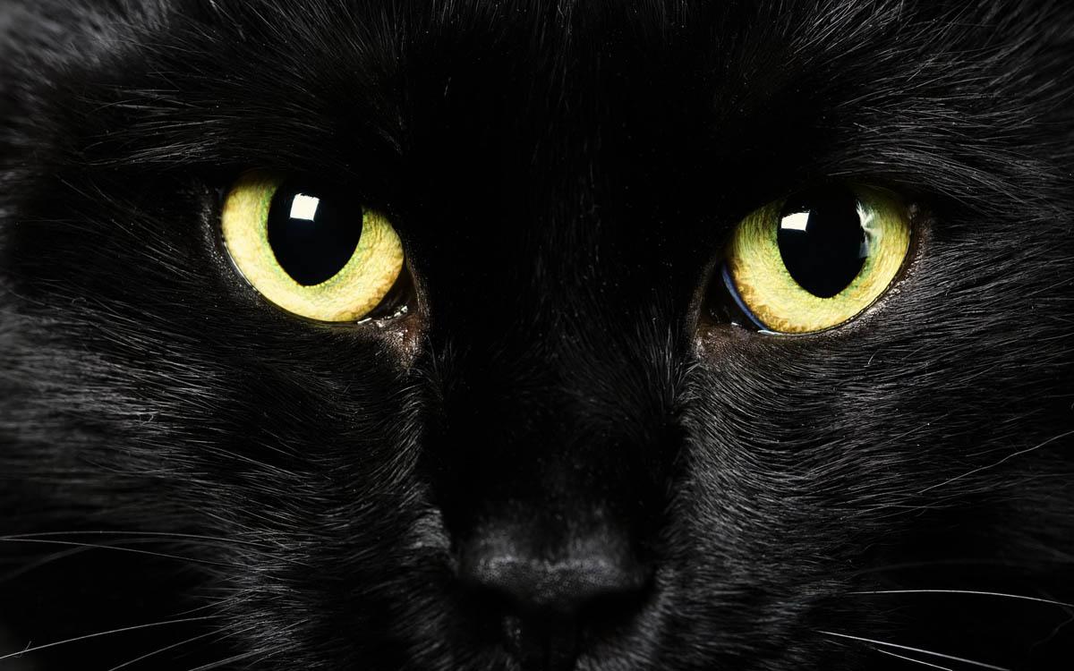 گربه ای سیاه با چشمانی زرد