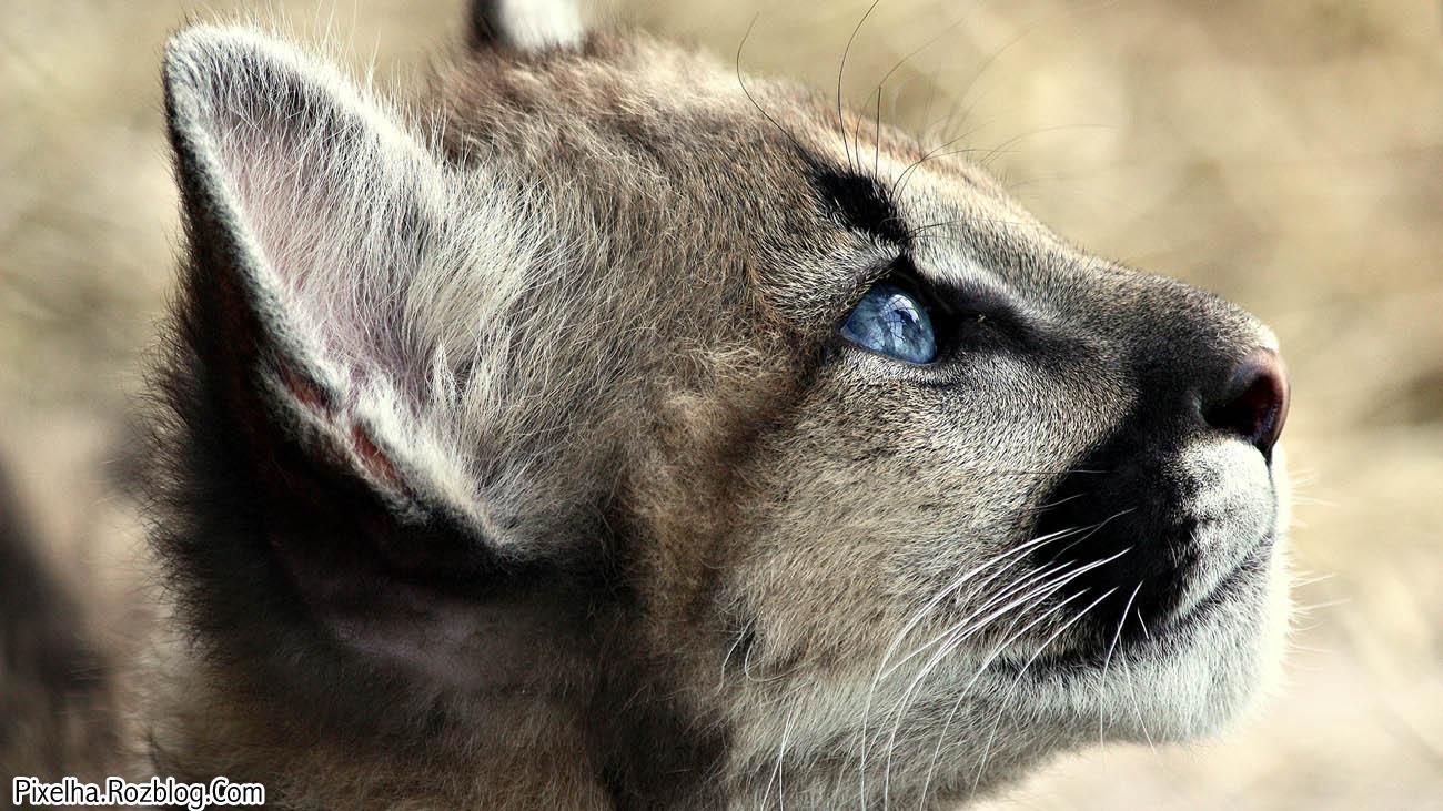 گربه وحشی با چشمان آبی