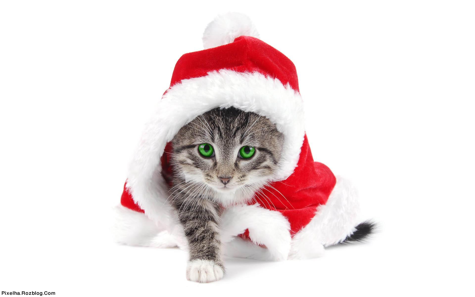 بچه گربه بابانوئلی با چشمان سبز