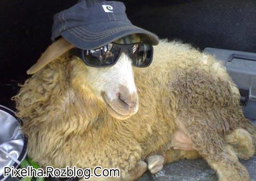 بز با عینک آفتابی و کلاه