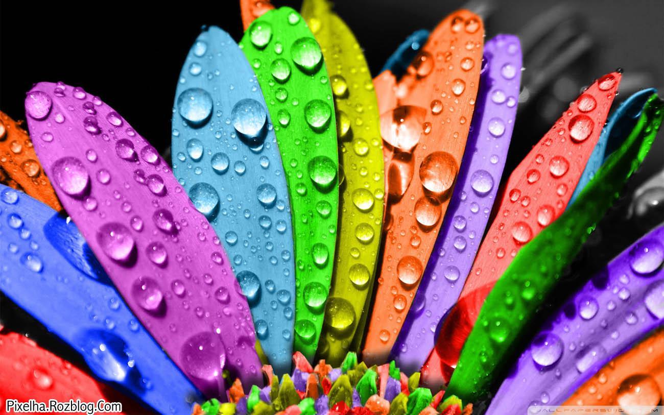 گل رنگارنگ به همراه قطرات شبنم