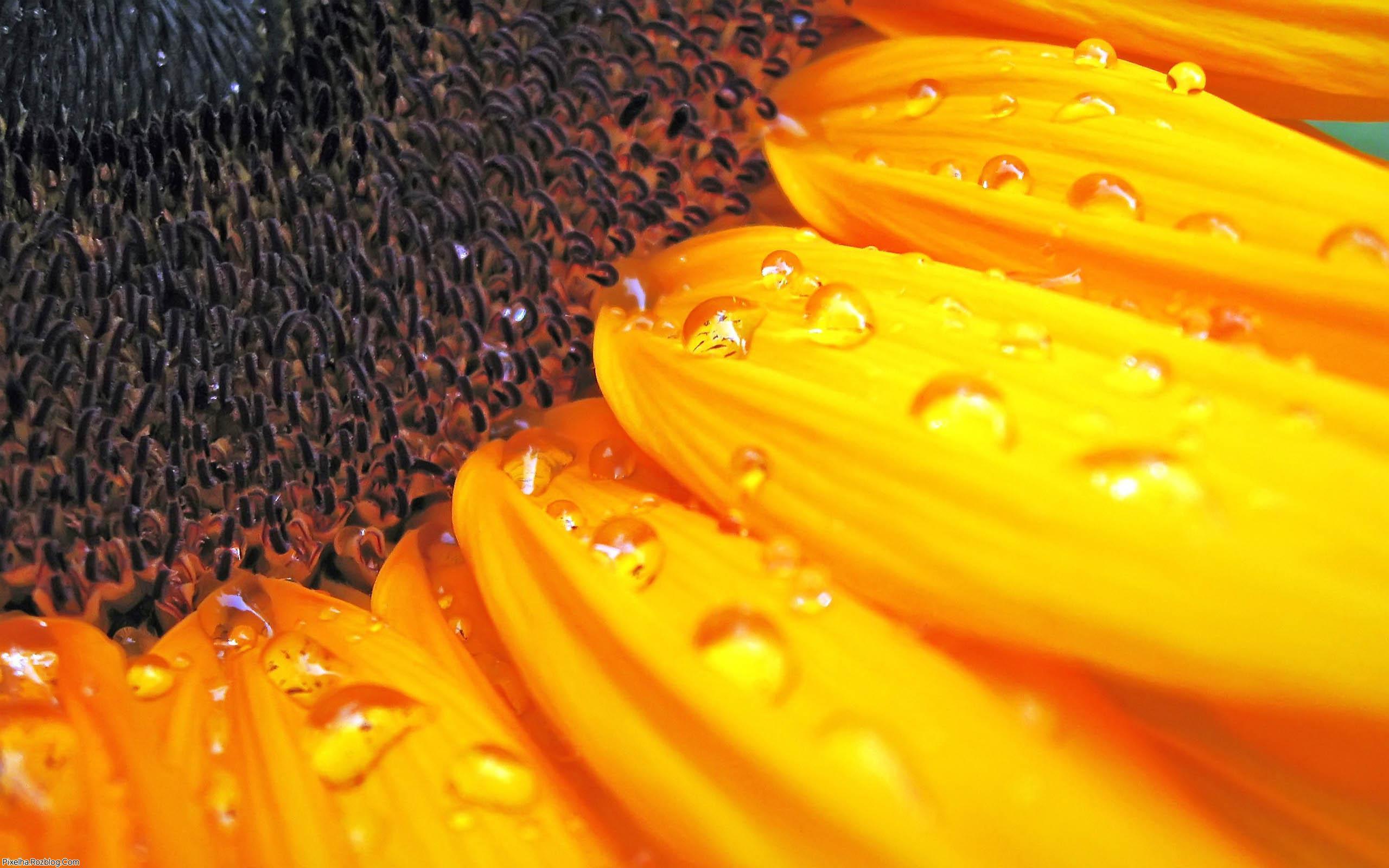 قطرات شبنم بر روی گل آفتابگردان