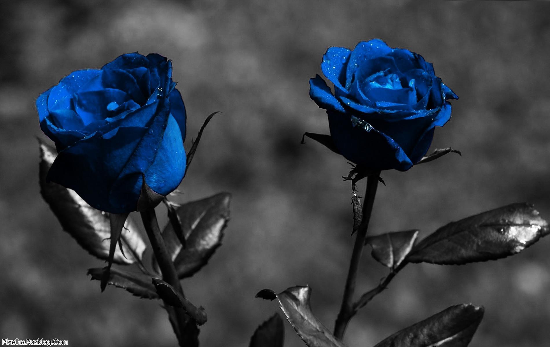 والپیپر گل رز آبی
