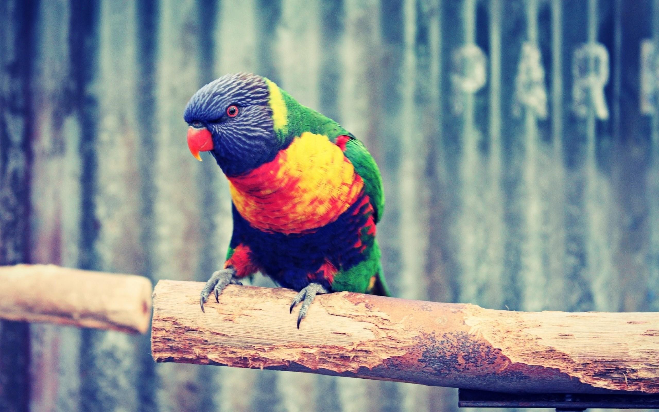 عکس زیبای طوطی رنگی بر روی شاخه