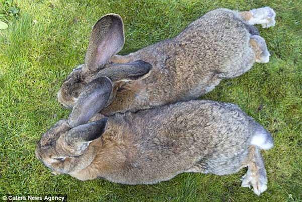 بزرگترین خرگوش های جهان