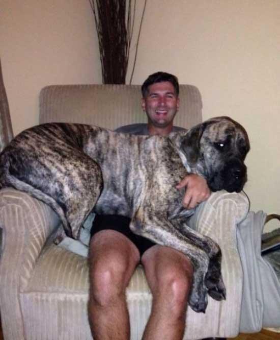 بزرگترين سگ هاي خانگي
