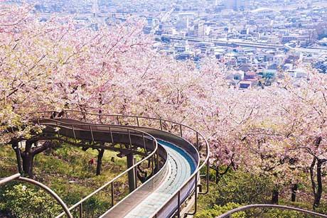 شکوفه های گیلاس