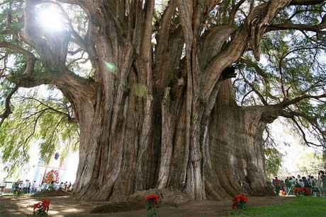 درختان مشهور دنیا