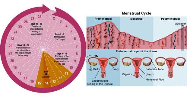 بهترین زمان رابطه جنسی برای بارداری