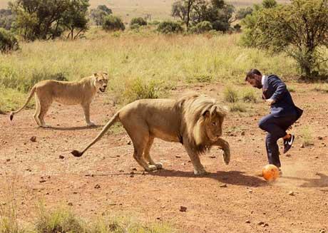 فوتبال بازی کردن با شیرها