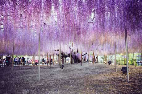 بزرگترين درخت ويستريا در ژاپن