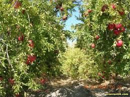 455 هکتار باغ انار و پسته استان زیر پوشش محصول سالم