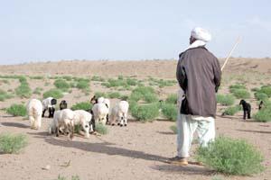 80 درصد دام های سرایان طعمه خشکسالی ها