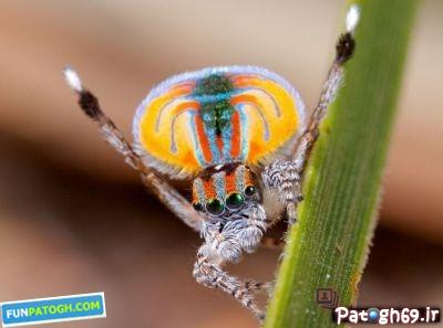 عنکبوتی به زیبایی طاووس در استرالیا + عکس