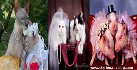تصاویر جالب از عروس و دامادها