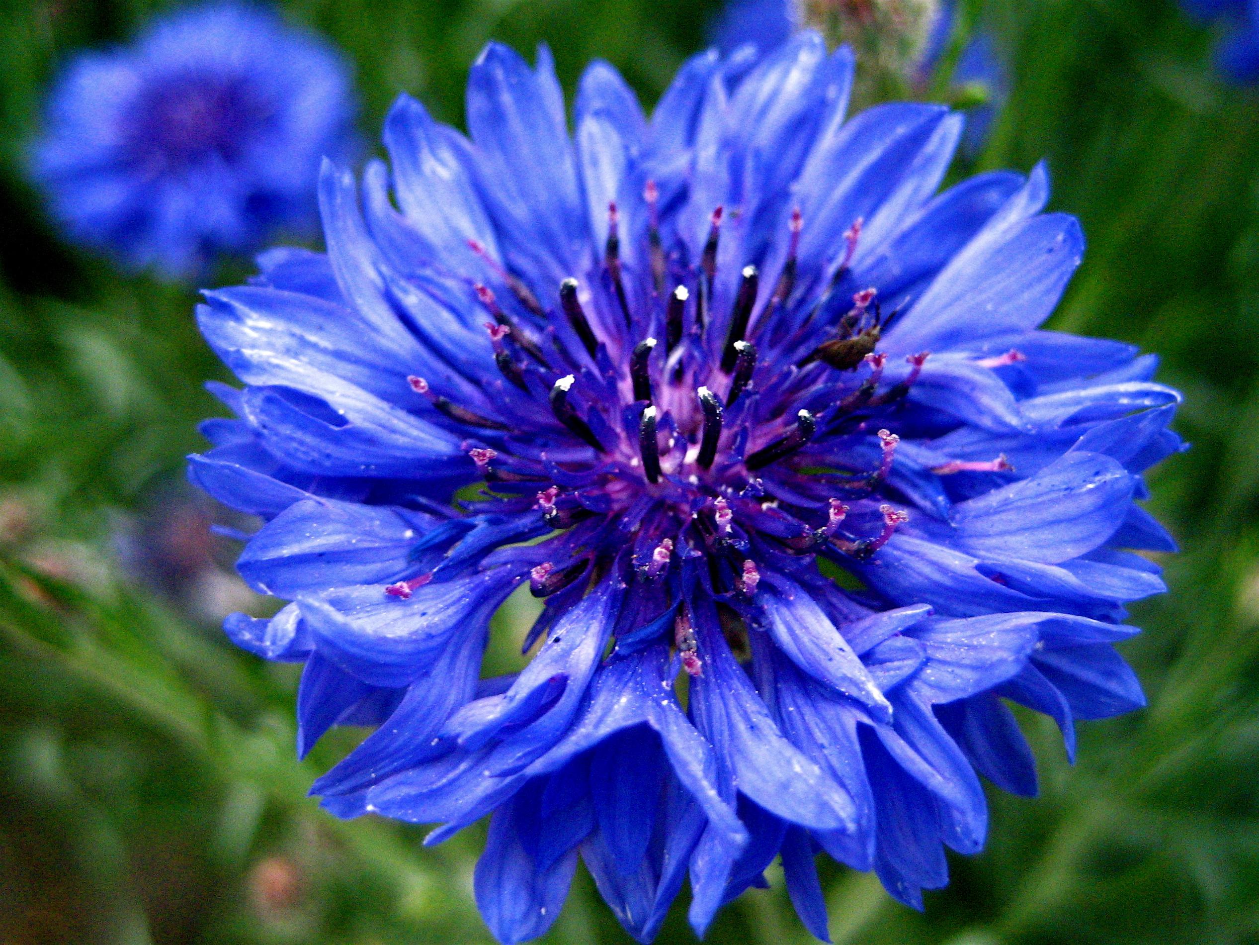گل آبی رنگ زیبا