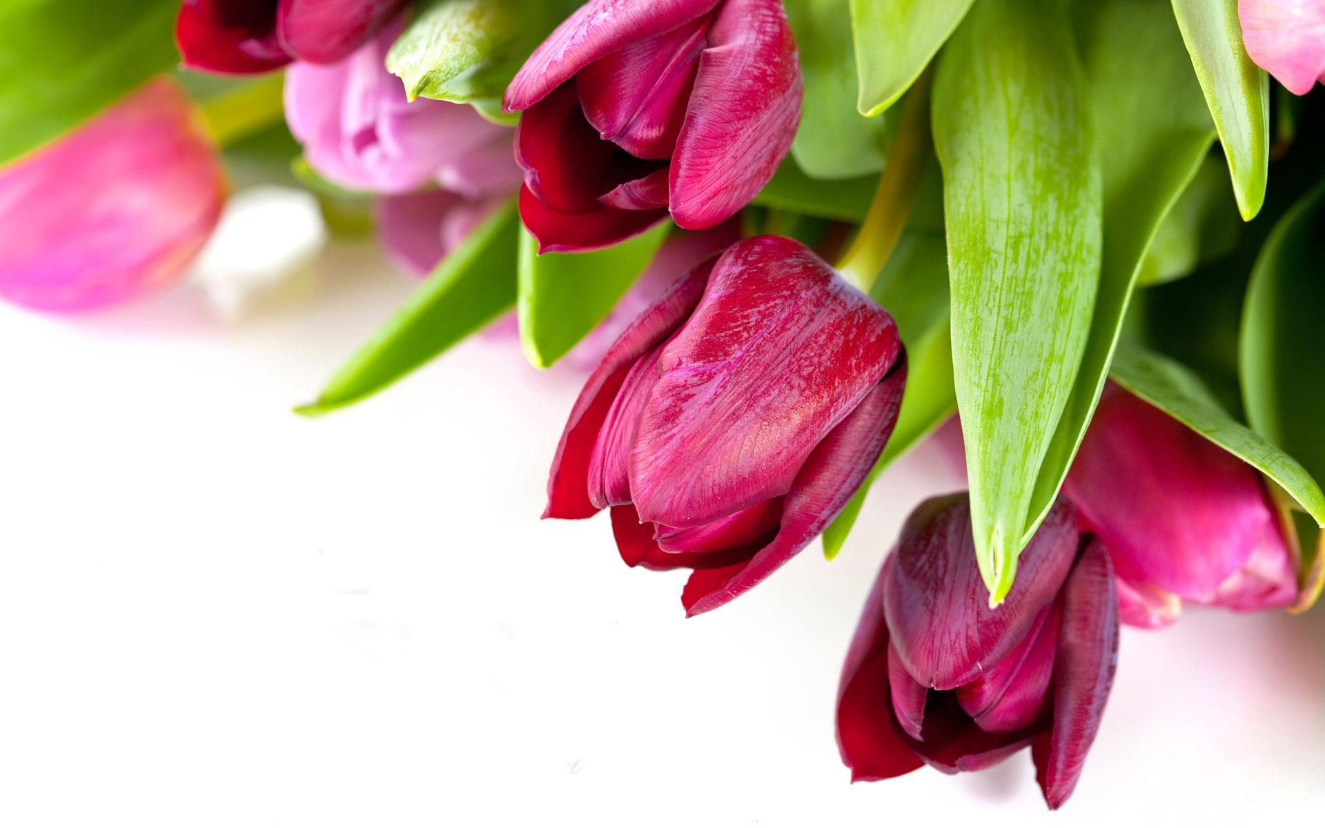 گل لاله بنفش