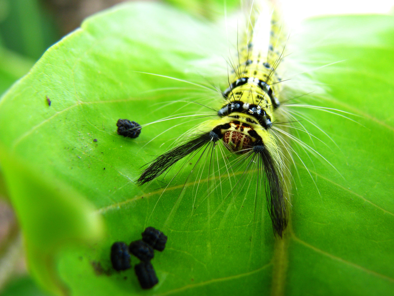 کاترپیلار (Caterpillar) پشمالو