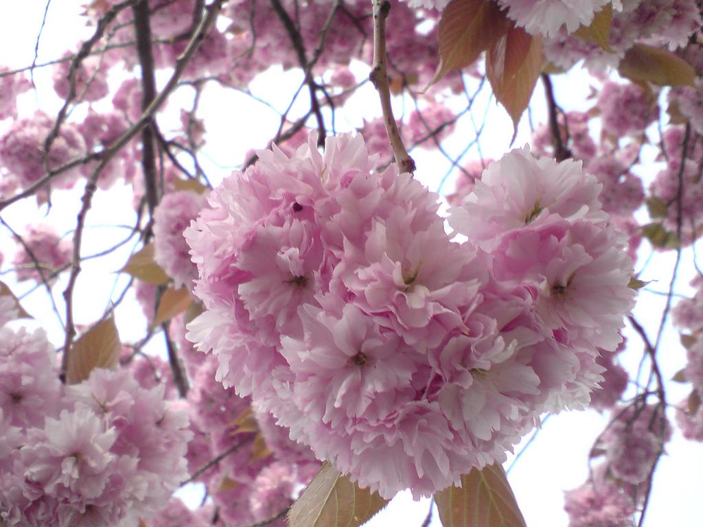 شکوفه های عاشق
