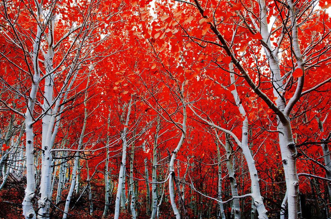 درختان قرمز