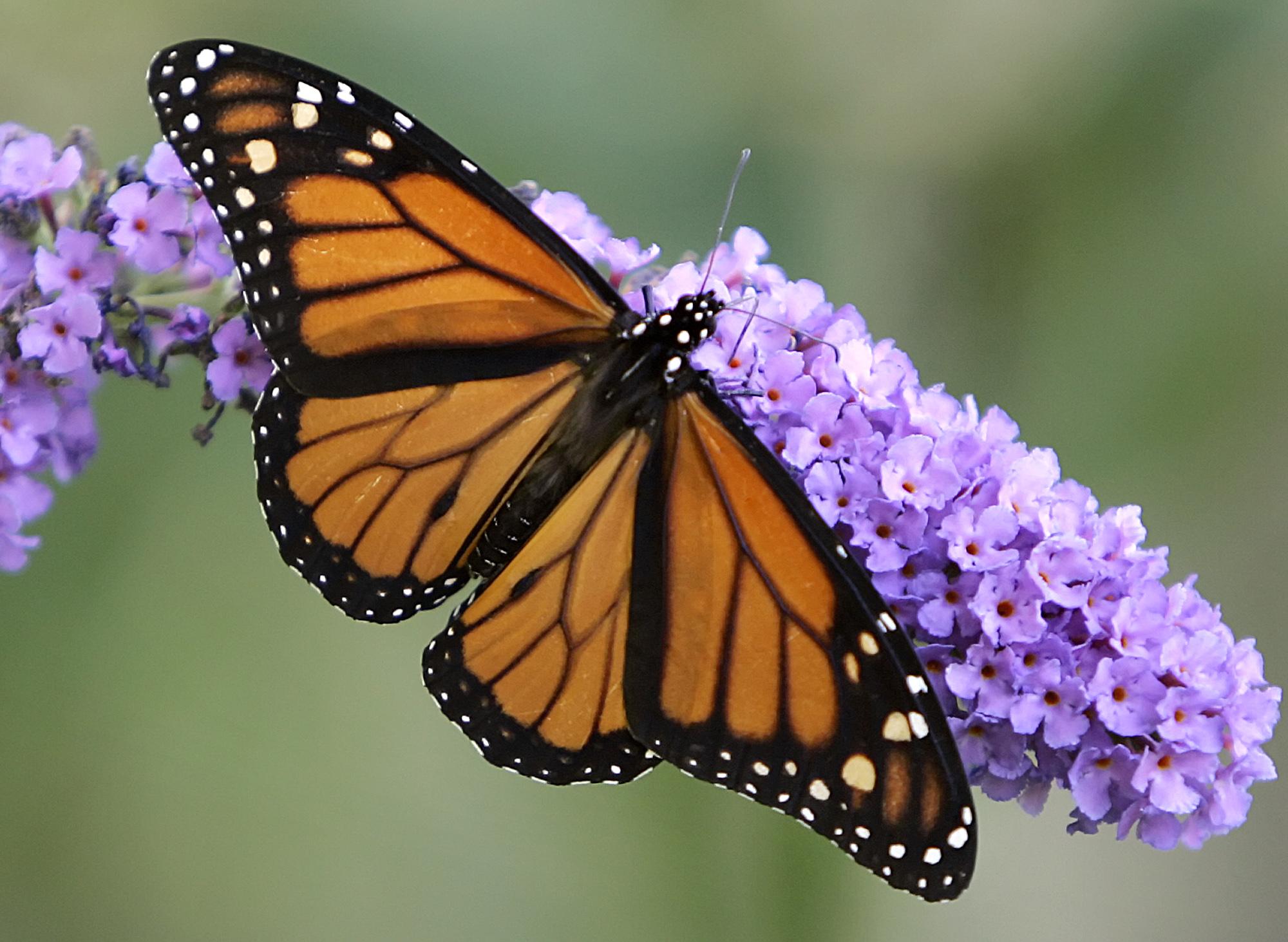 پروانه ای زیبا
