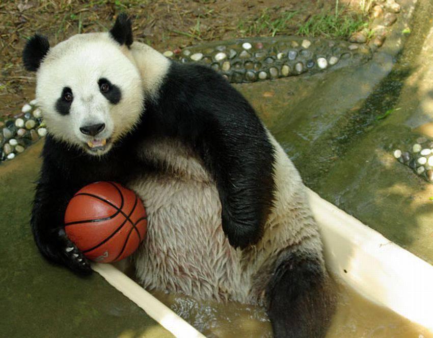 خرس بسکتبالیست
