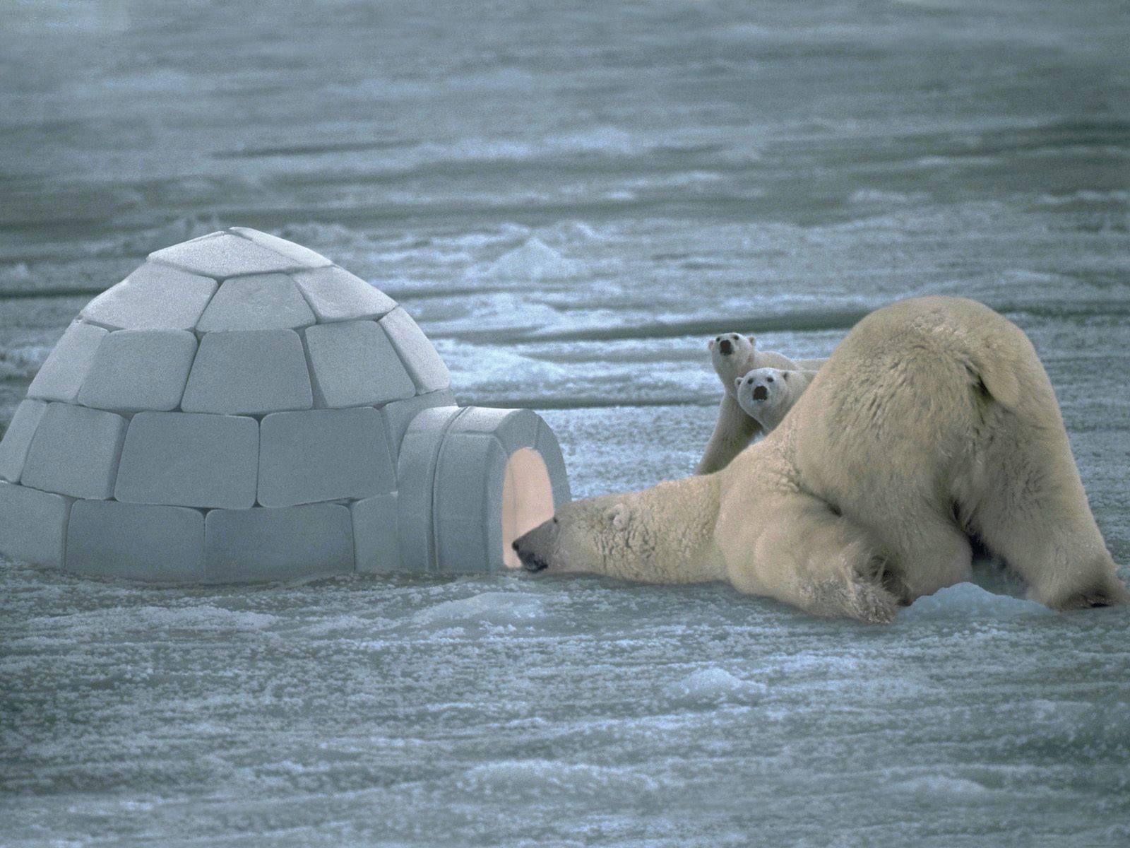 خرس قطبی کنجکاو