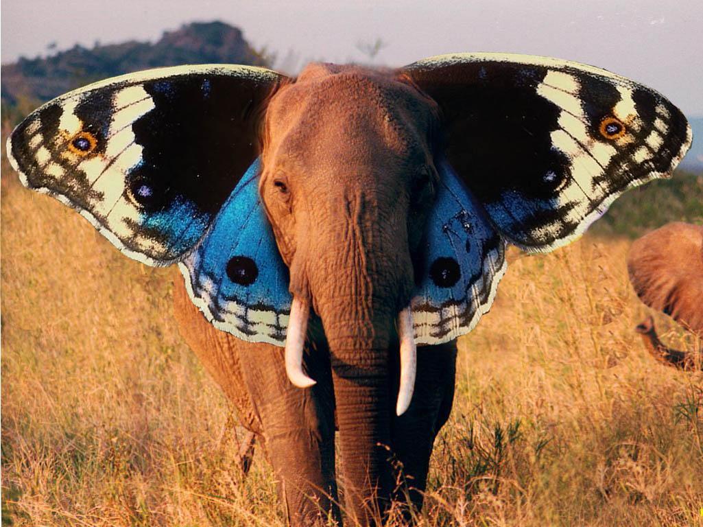 فیل یا پروانه ؟!
