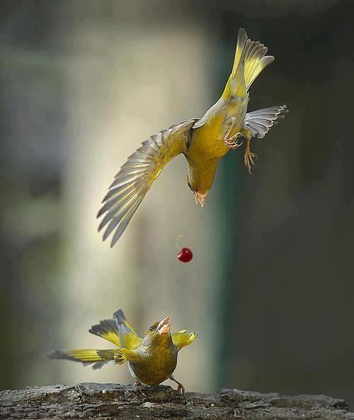 دعوا دو پرنده سر گیلاس