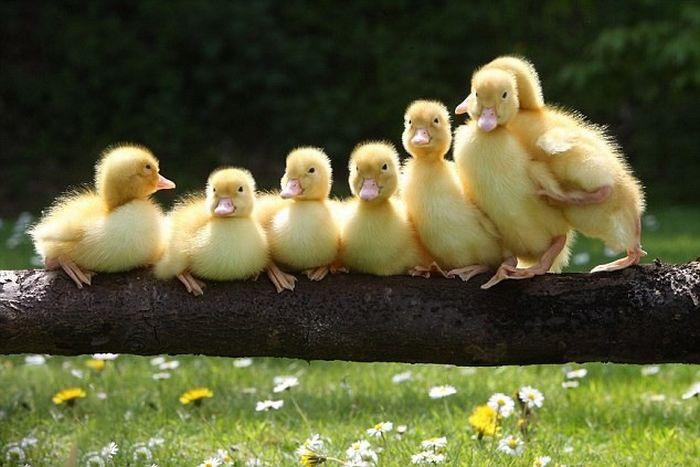 جوجه اردک ها