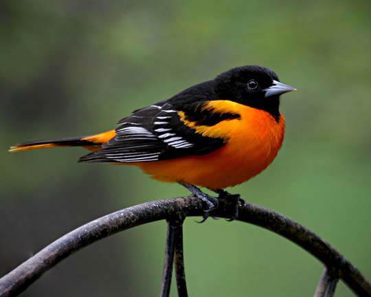 پرنده ای با رنگ های سیاه ، سفید ، زرد و نارنجی