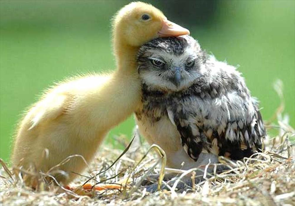 عشق جغد و جوجه اردک