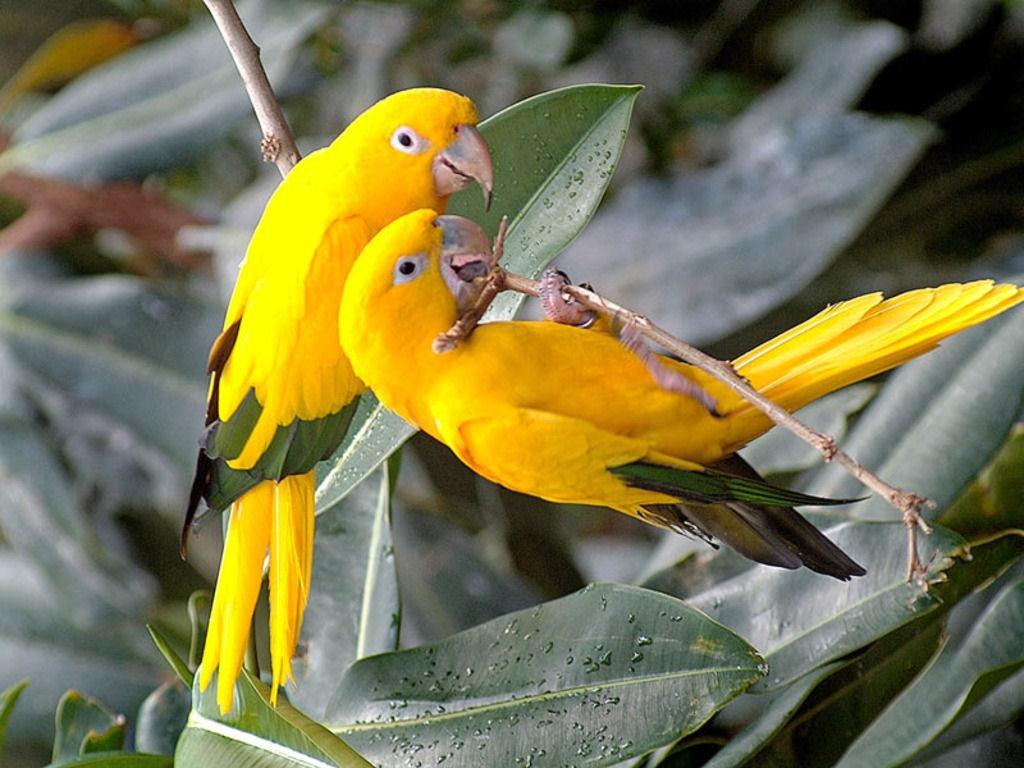 طوطی های زرد