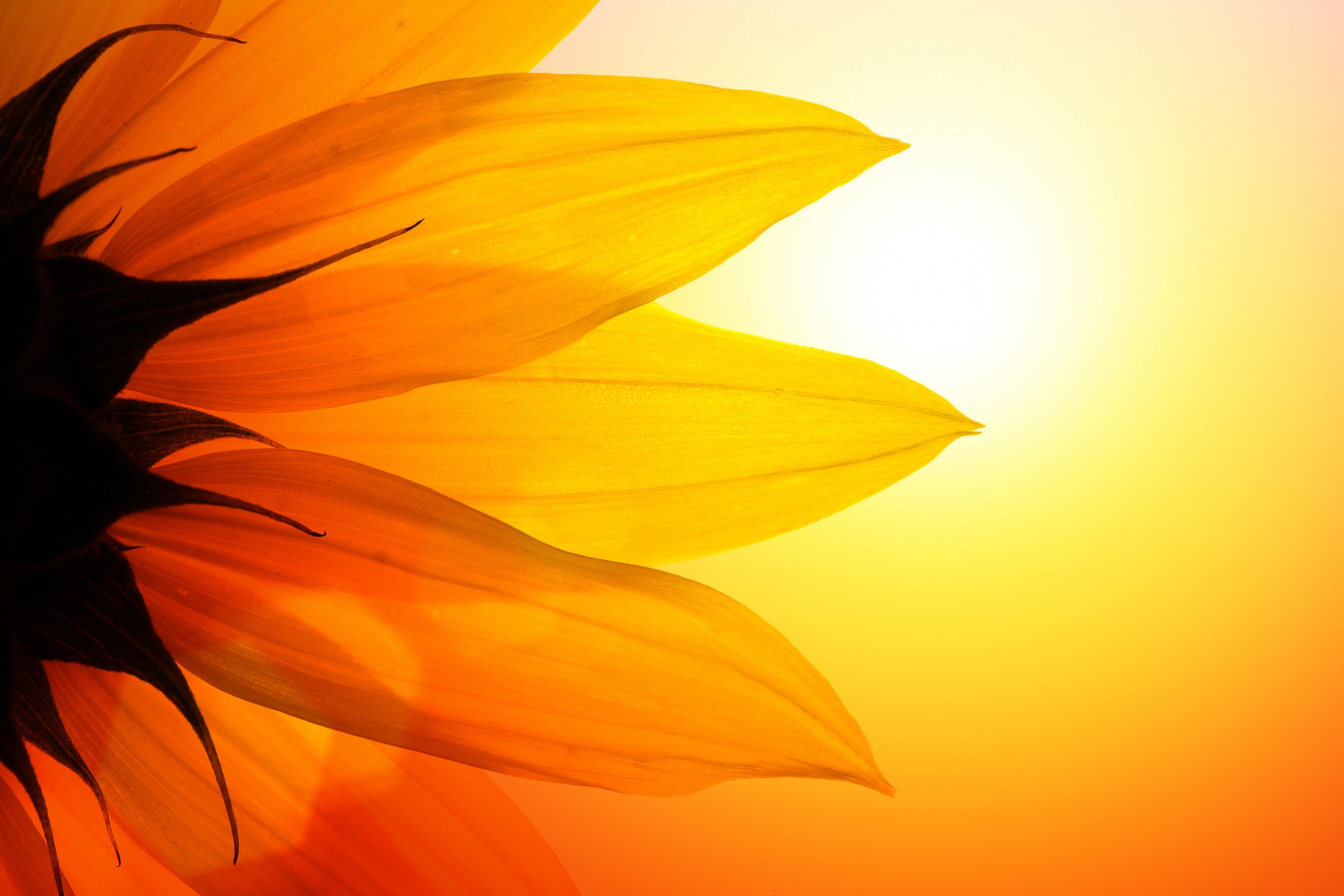 غروب گل آفتابگردان