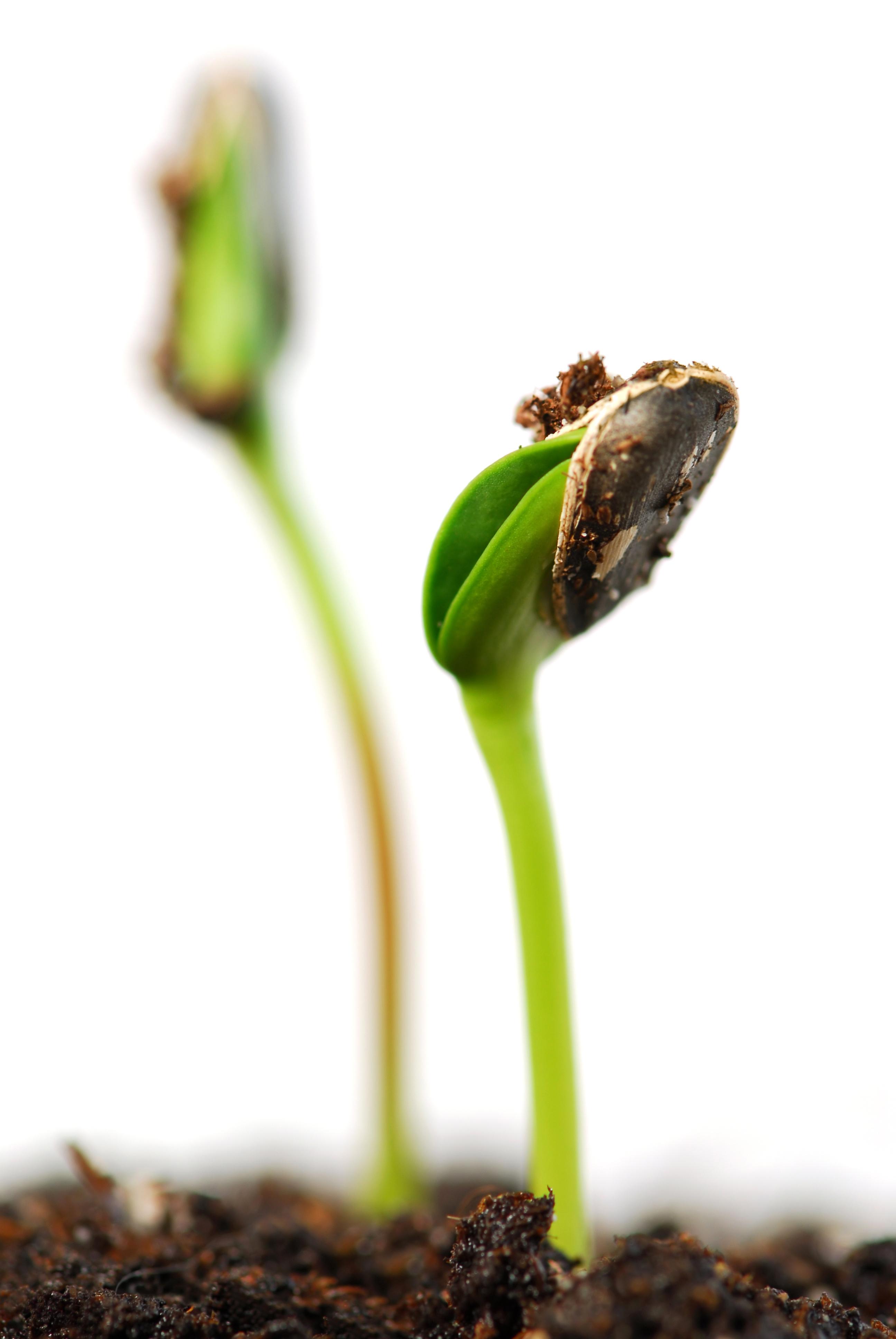 جوانه گیاه