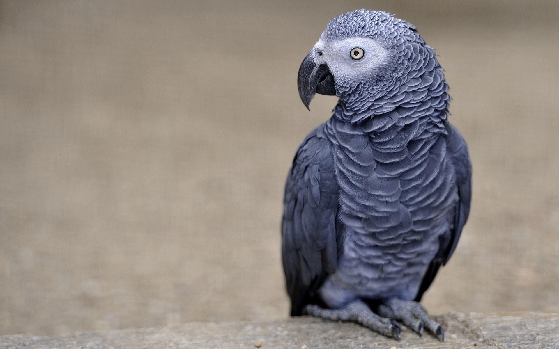 طوطی خاکستری آفریقایی