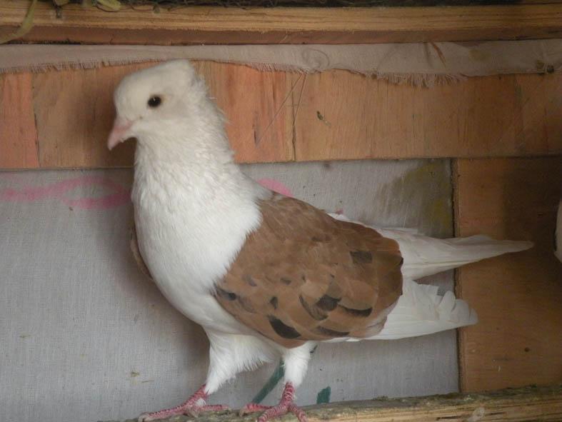 کبوترهای ملاغی خوشگل